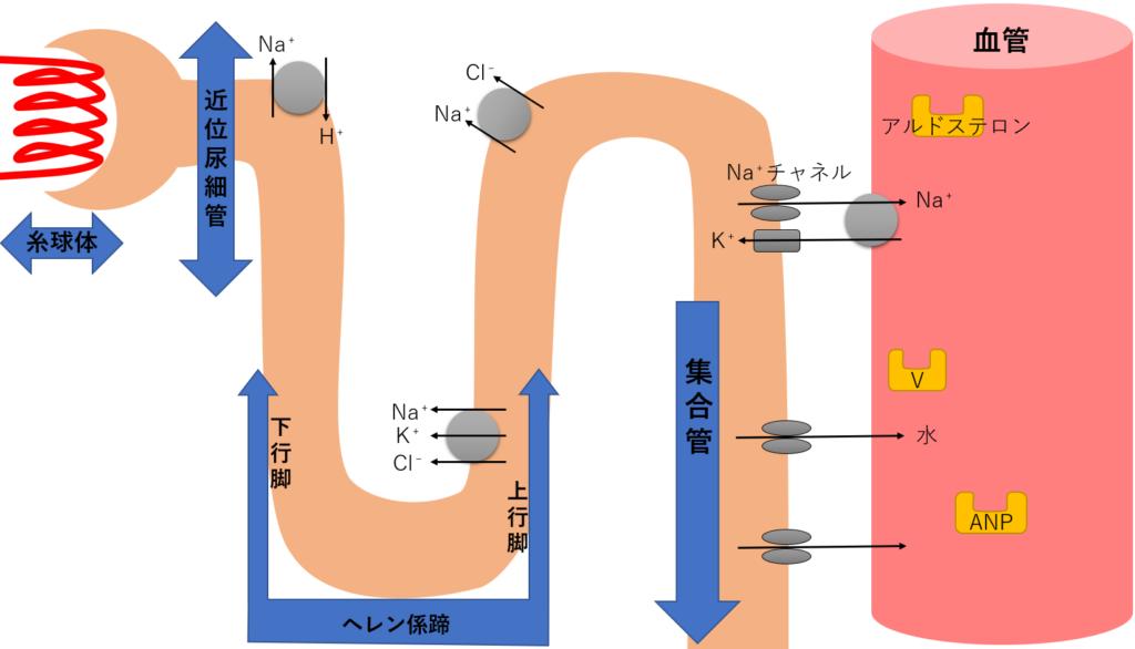 利尿薬 尿細管 受容体 構造