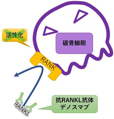 デノスマブ 作用機序 RANKL