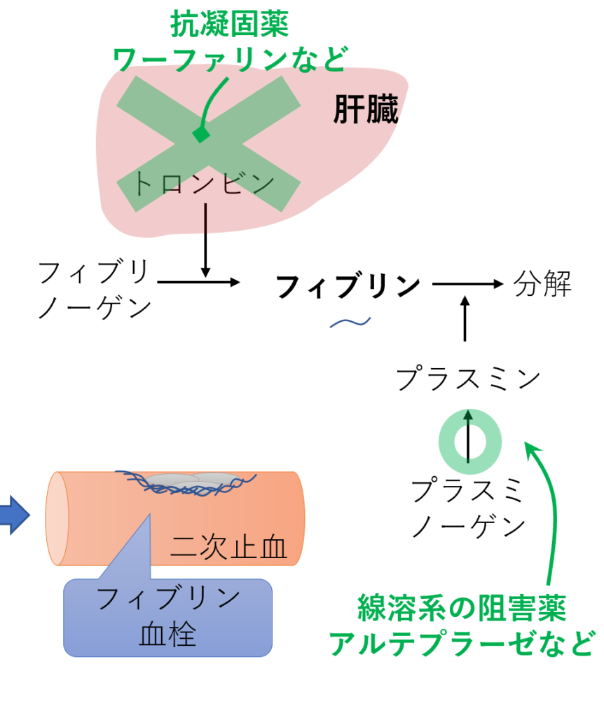 二次止血 フィブリン血栓 全体像 作用機序