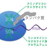 抗菌薬>タンパク合成阻害系
