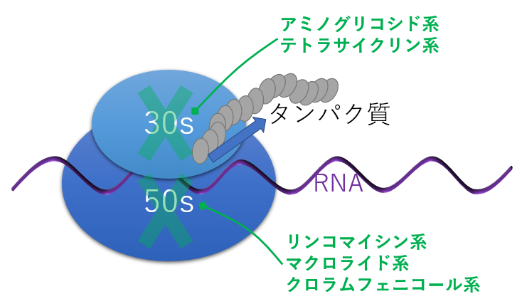 タンパク合成阻害薬 抗菌薬 作用機序 阻害場所